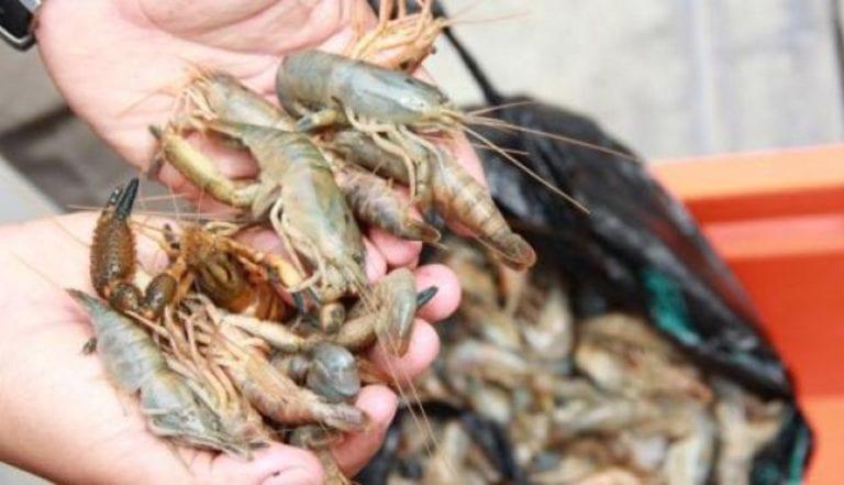 Hasta el 31 de marzo: Veda del camarón ya está en vigencia