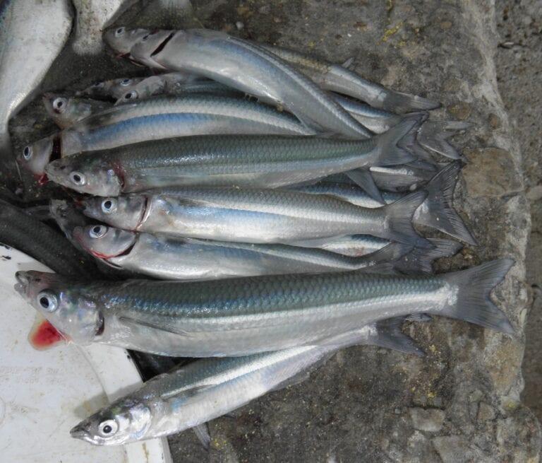 Produce establece veda del recurso pejerrey en todo el litoral
