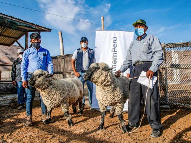 Mejoramiento genético de ovinos en Locumba con capital semilla