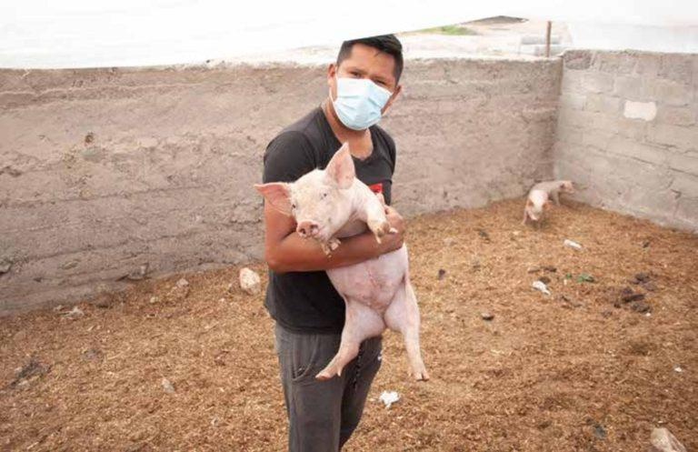 """Proyecto de crianza de porcinos en Ite ya es una realidad, gracias a """"impulsa 2020"""""""