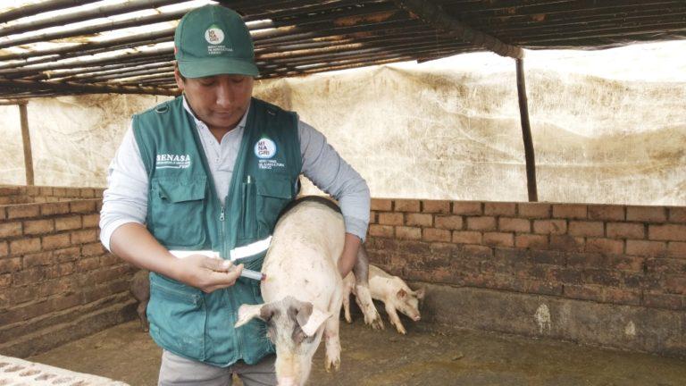 Realizan campaña de vacunación porcina a 4000 ejemplares en Islay