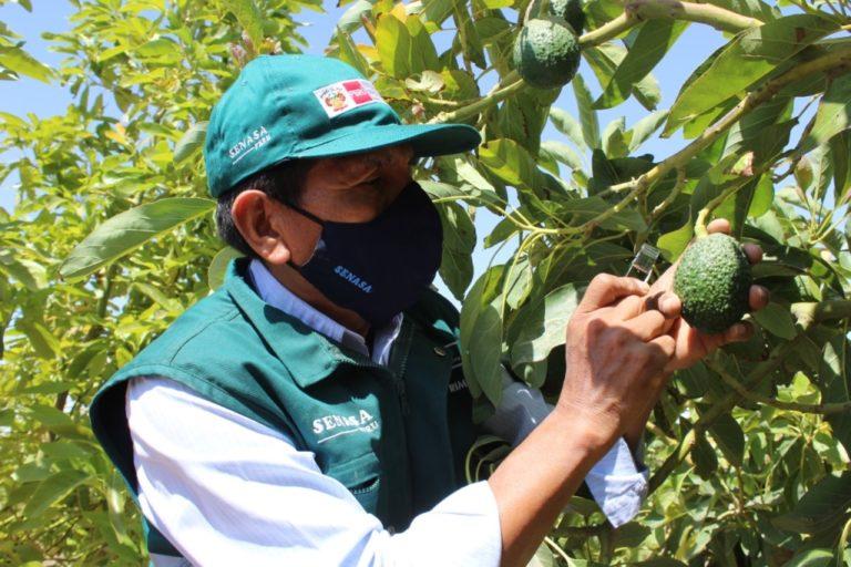 Senasa inicia certificación de lugares de producción de palta en Moquegua