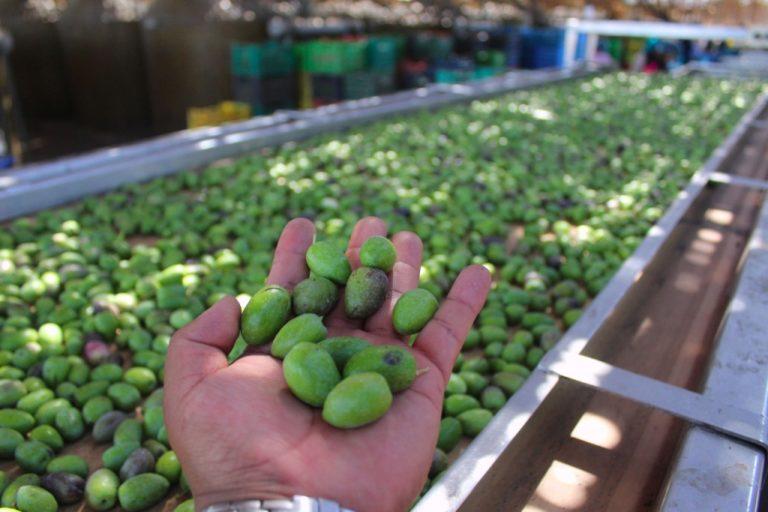 Productores de Deán Valdivia participarán de primer encuentro de olivicultores